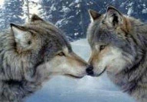 Pour le plaisir des yeux... Loups%20(l)